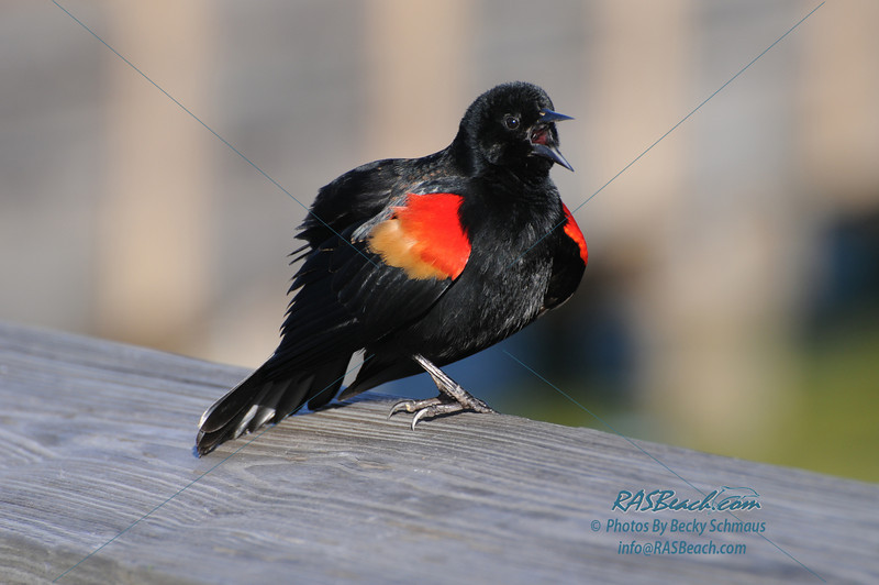 Redwing Blackbird_303
