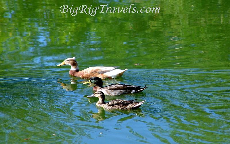 3 Ducks Swimming Wallpaper1440x900.jpg