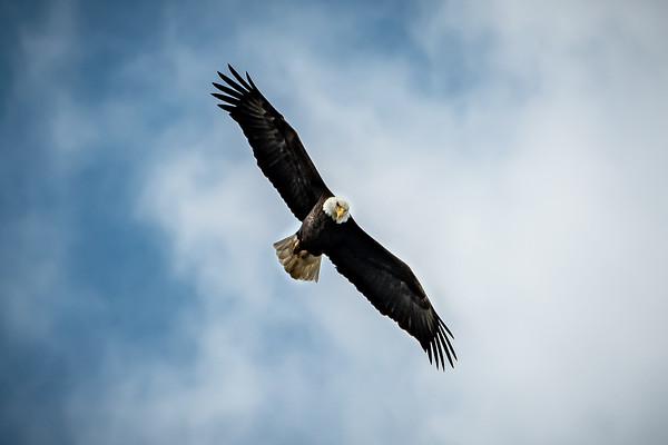 Eagles,Hawks,Ospreys,Vultures