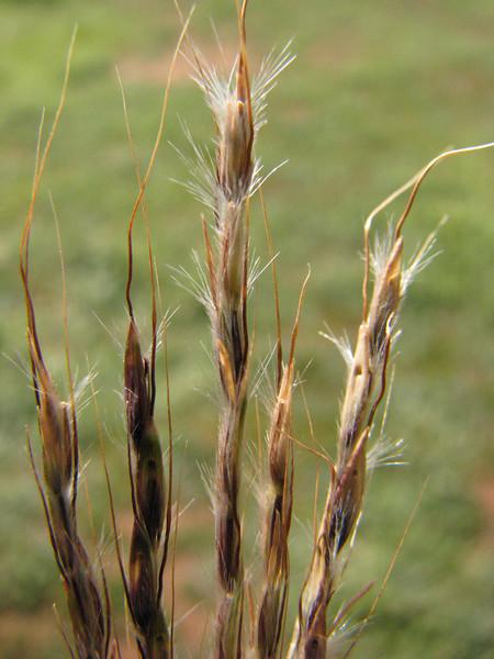 Bothriochloa macra / Red-leg Grass  Seed head spread open