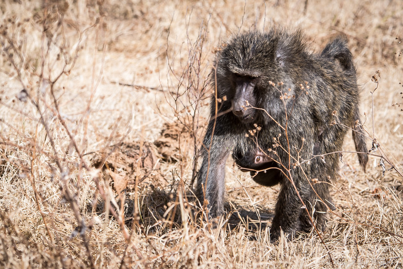 Tanzania Ngorongoro Crater, babboon  w babe-5136.jpg
