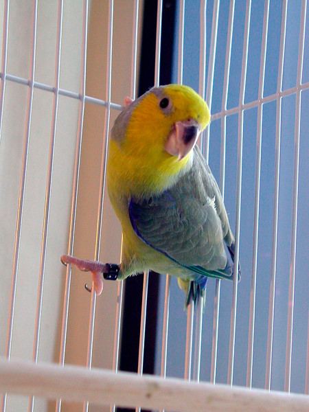 Yellow-Faced Parrotlet