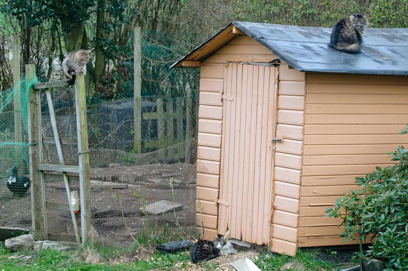 Unser Hühnerhaus ist die grosse Attraktion für die Katzen der Nachbarschaft. Worauf warten die nur?
