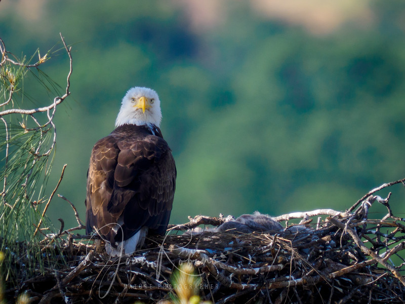 210420-Lassen Bald Eagle Nest April-4209869.jpg