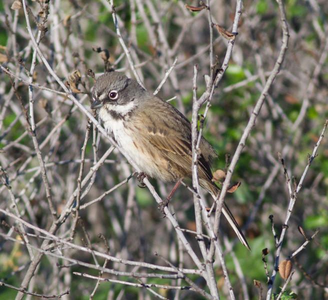 Bell`s Sparrow  Mt. Israel Escondido 2015 02 05-11.CR2