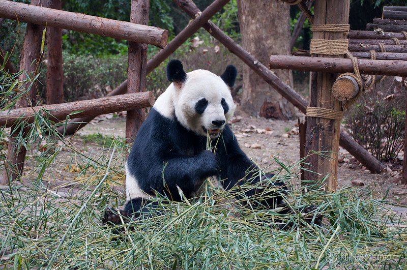 Giant_Panda_eating_Chengdu_Sichuan_China3.jpg
