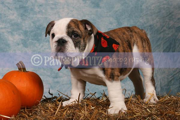 Bulldog Club of CT Puppy Match - 10-26-08
