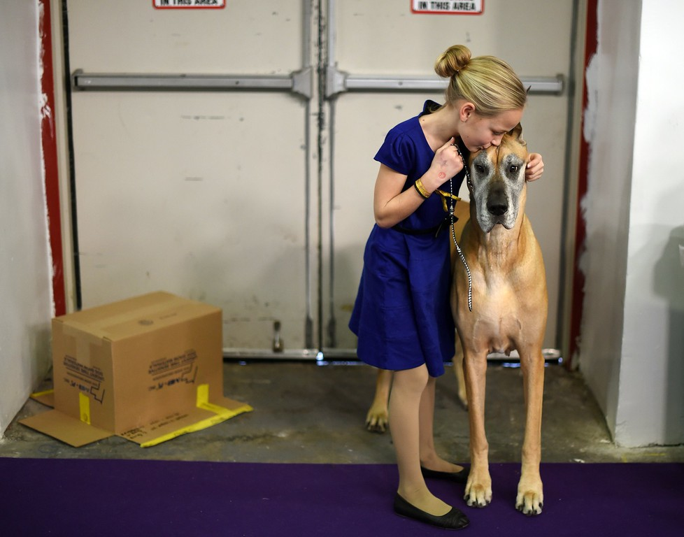 ". Emma Rogers, 11, from Columbus, New Jersey, and Great Dane ""Joy\""  in the benching area at Pier 92 and 94 in New York City on the 2nd day of competition at the 139th Annual Westminster Kennel Club Dog Show February 17, 2015. The Westminster Kennel Club Dog Show is a two-day, all-breed benched show that takes place at both Pier 92 & 94 and at Madison Square Garden in New York City.    AFP PHOTO /  TIMOTHY  A. CLARYTIMOTHY A. CLARY/AFP/Getty Images"