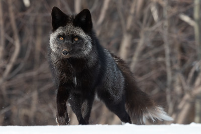 Silver Fox 2020