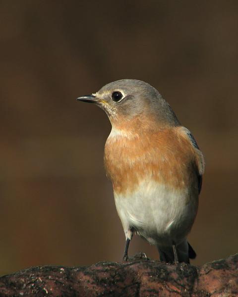 bluebird_0301.jpg