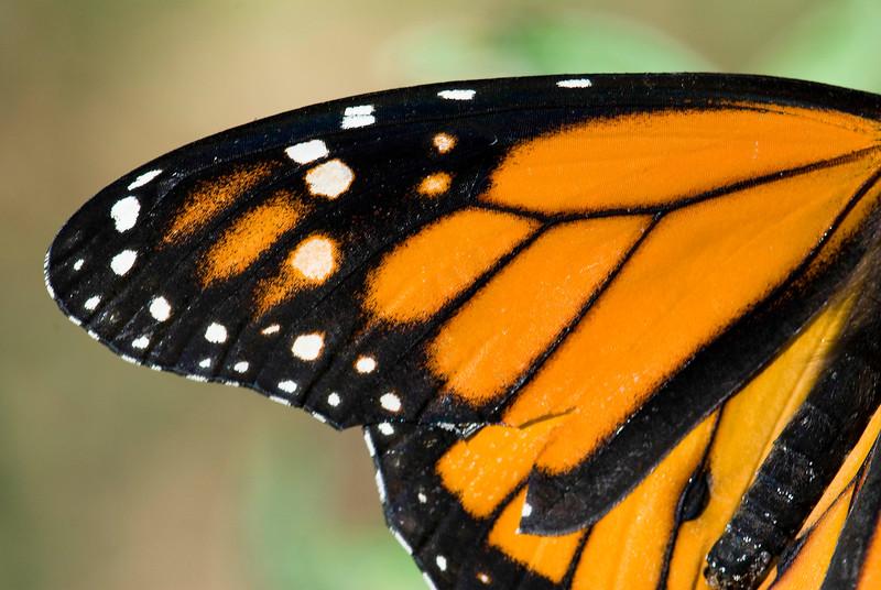 Monarch Butterfly-3.jpg