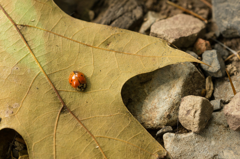 shaver's creek beatle on fallen leaf.jpg