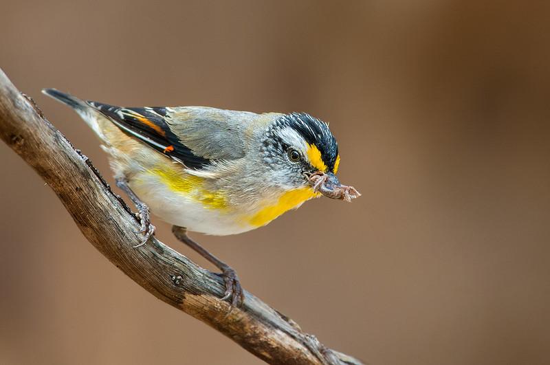 Striated Pardalote - Pardalotus striatus (You Yangs Regional Park, Vic)