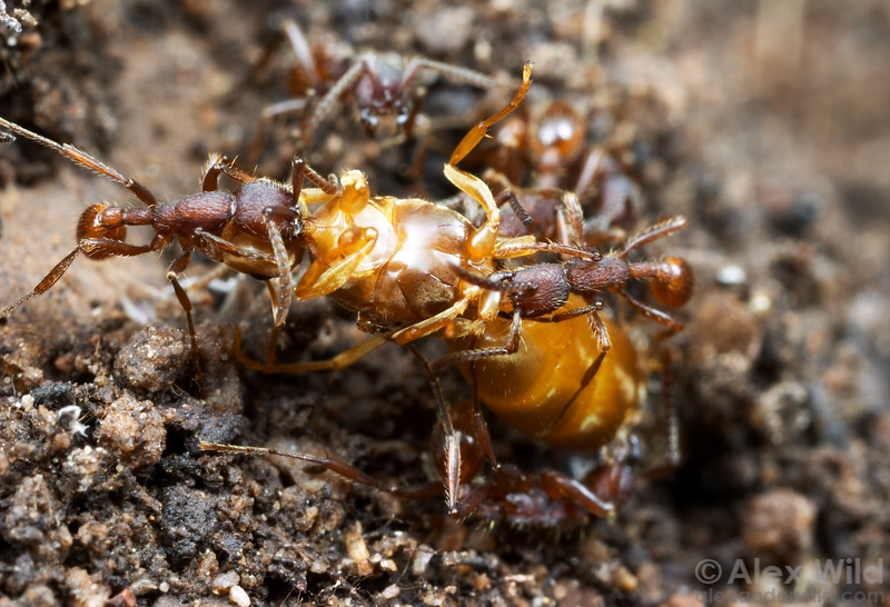 Neivamyrmex army ants prey primarily on the brood of other ant species, but they will also take adult ants.   Here army ants make short work of a Lasius foundress queen they encountered in a subterranean raid. (Neivamyrmex nigrescens).  Portal, Arizona, USA