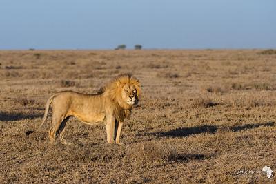 Classic Serengeti Lion