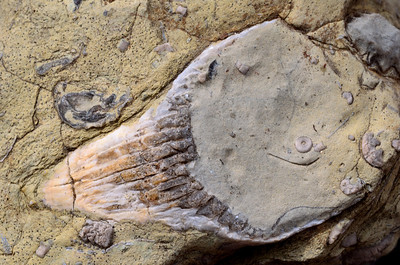 Fossil Shark tooth March 2014