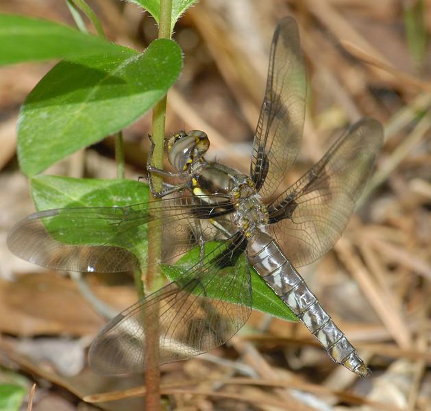 Plathemis lydia (Common Whitetail), GA