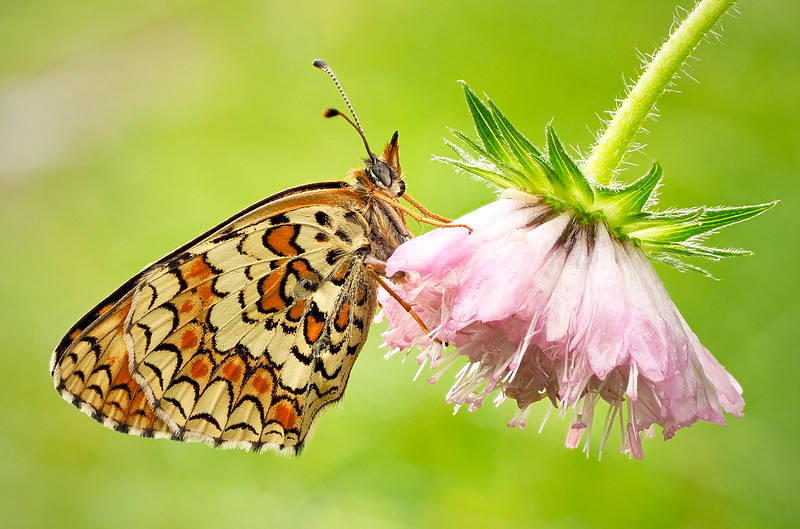 Fritillary (possibly pearl bordered)