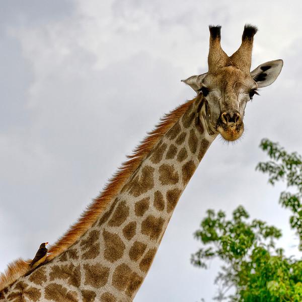 Giraffe-neck-and-head-with-bird-perched-on-neck-chobe-botswana.jpg