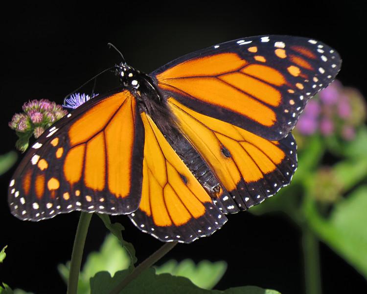 sx50_monarch_butterfly_flora_070.jpg