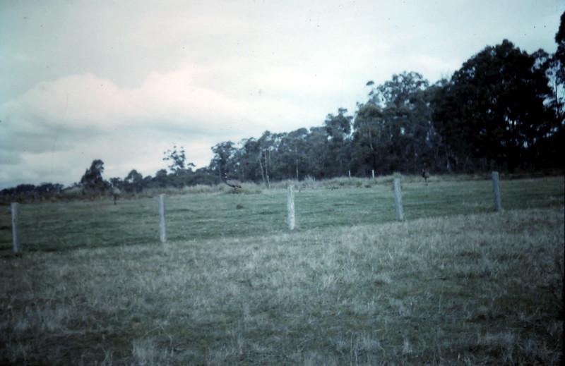 1962-10 (36) Emus @ Stradbroke.JPG