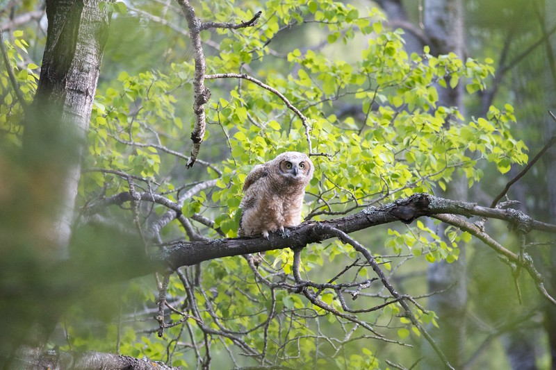 Great Horned Owl juvenile Skogstjarna Carlton Co MN IMG_0020015.jpg