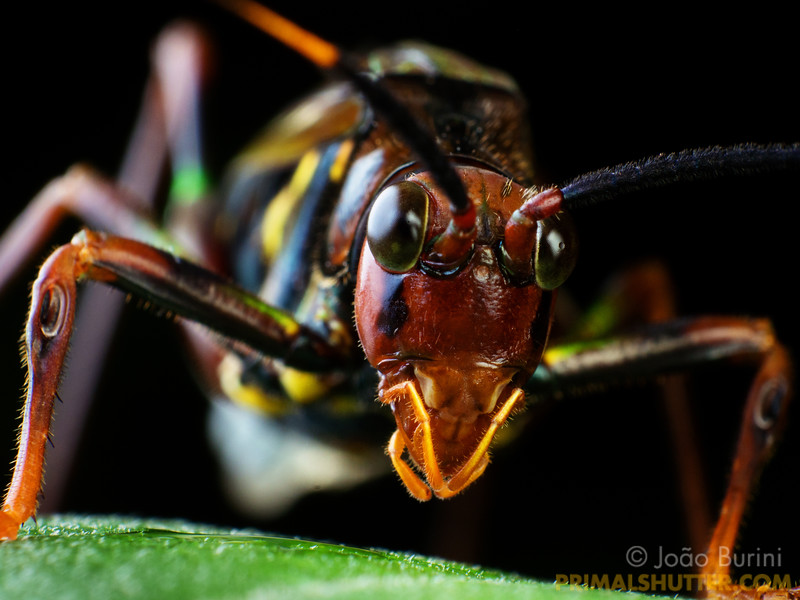 Portrait of a wasp-mimicking katydid