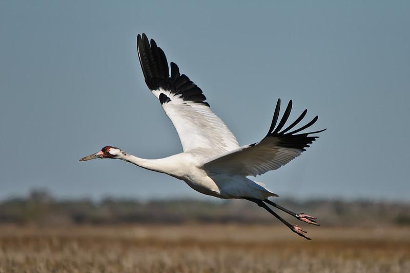 Whooping Crane, Aransas Wild Life Preserve