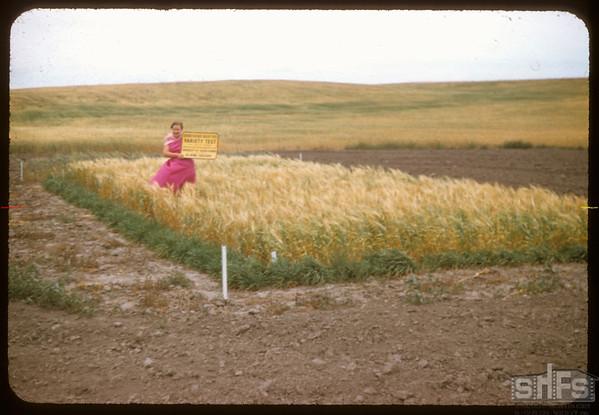 Elaine Geiger's test plot.  Rosefield.  07/30/1957