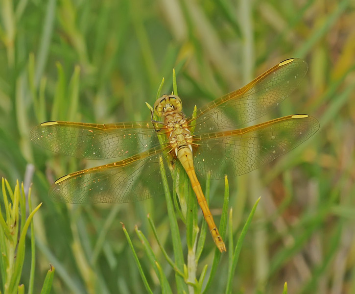 Sympetrum costiferum (Saffron-winged Meadowhawk), CO