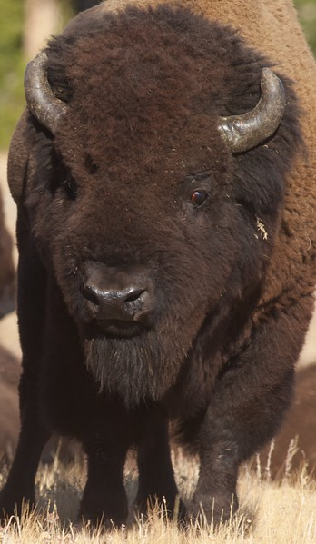 Bison Yellowstone N.P. WY IMG_0068896.jpg