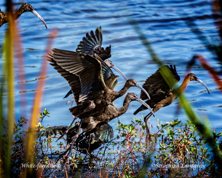 _DSC4875White faced Ibis flight.jpg