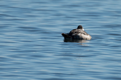 Birds - Bufflehead Duck