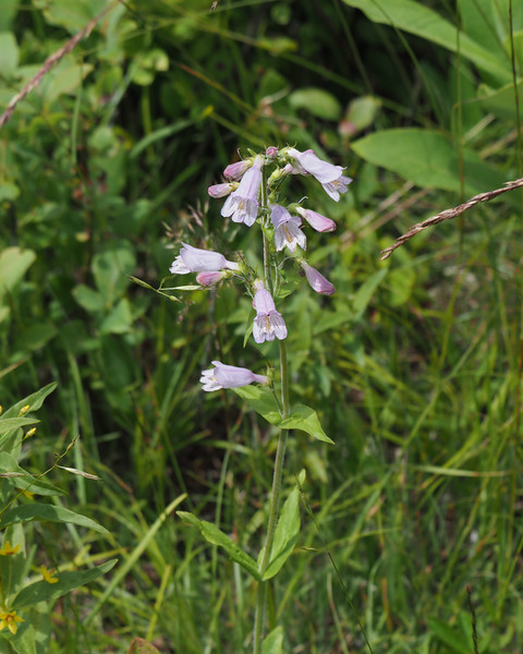 Hairy Beardtongue