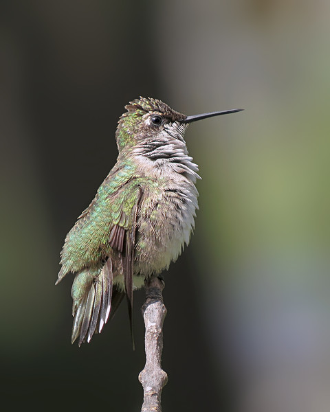 sx50_hummingbird_boas_018.jpg