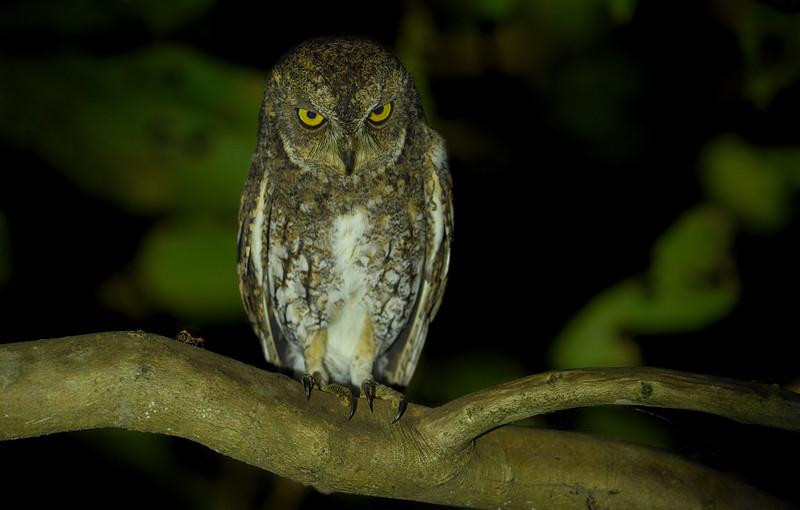 Waldens-scops-owl-andaman.jpg