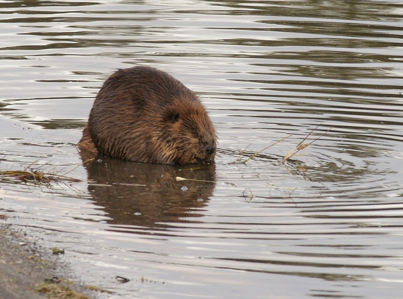 In the fall, Beaver are busy putting up food for winter; They must cache enough sticks under the ice to last all winter [September; Yellowstone National Park, Wyoming]