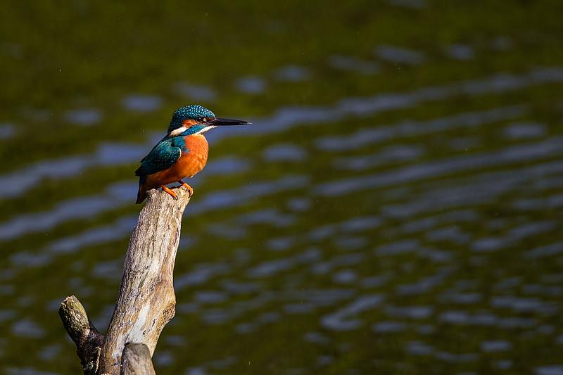 Kingfisher 1405061480.jpg