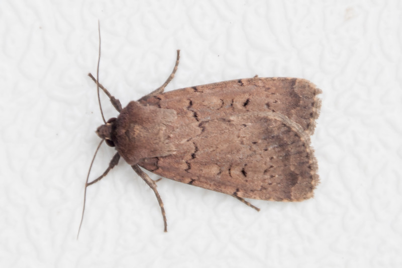 Dart-Double-(Graphiphora augur)- Dunning Lake - Itasca County, MN