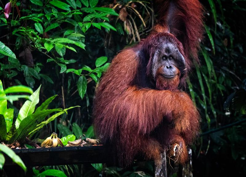 Dreaming Orangutan
