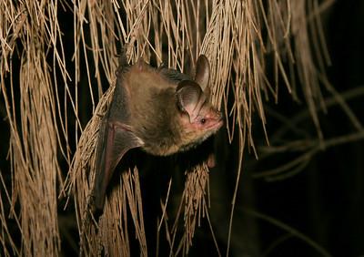 Bats- MICROCHIROPTERA