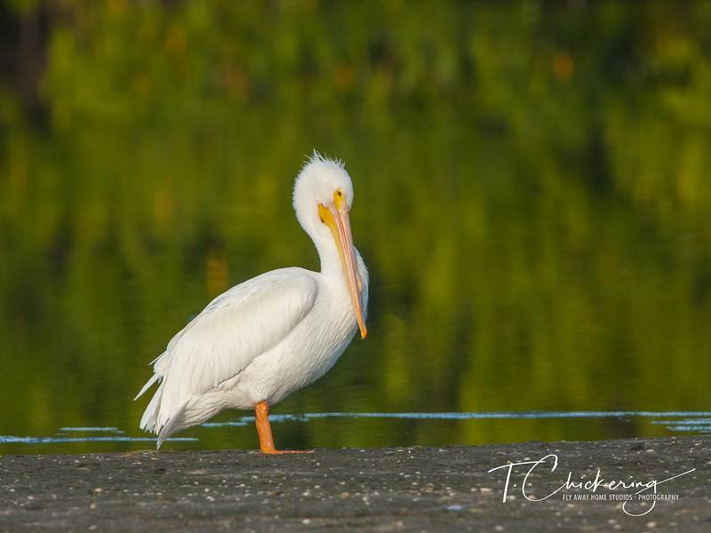 White Pelican Two-1546722514050.jpg