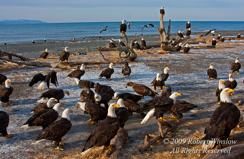 Bald Eagles, Haliaeetus leucocephalus, Waiting to be Fed, Homer,  Kenai Peninsula, Alaska