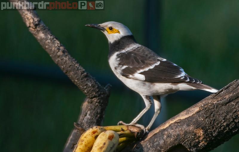 Black-collared Starling (Gracupica nigricollis)