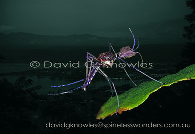 New Guinea Culicidae (Mosquitoes)