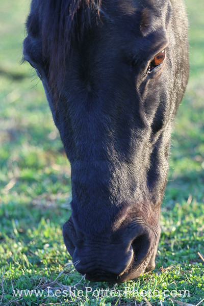 Closeup of Senior Horse Grazing at Sunset