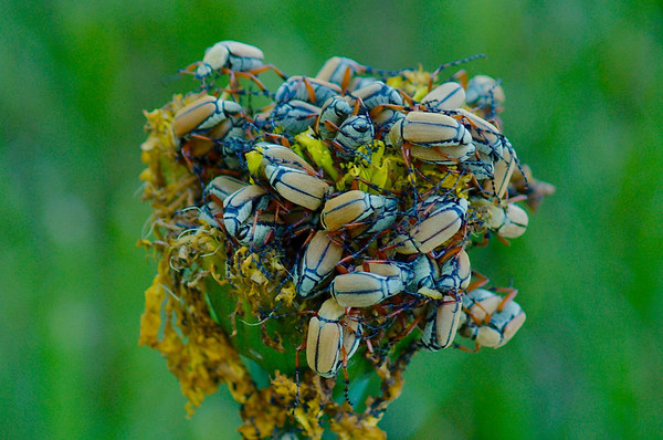 JAPANESE  BEETLES EATING ALL THE FLOWERS AT ST. PATRICKS CEMETERY
