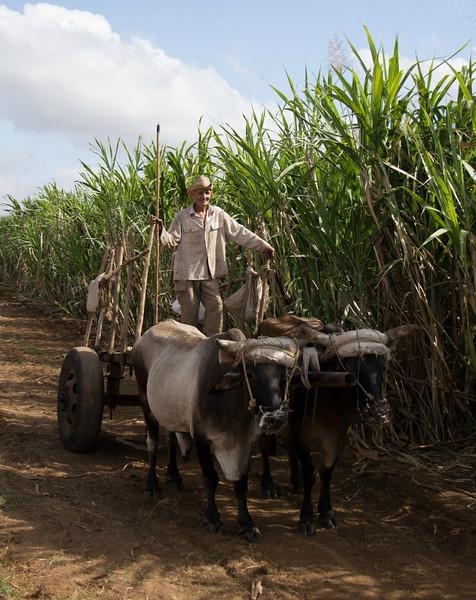 In the sugar cane fields.