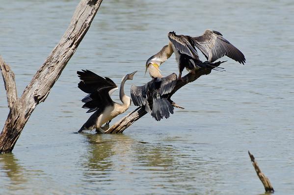 Birds of the Greater Melbourne Metropolitan area.