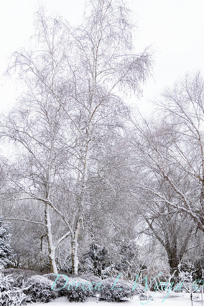 Betula utilis var. jacquemontii in snow_4228.jpg
